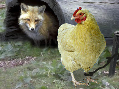 chicken_and_fox