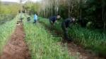 Garlic Fields